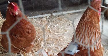 Des Fitbits pour poulets détectent les infestations d'acariens