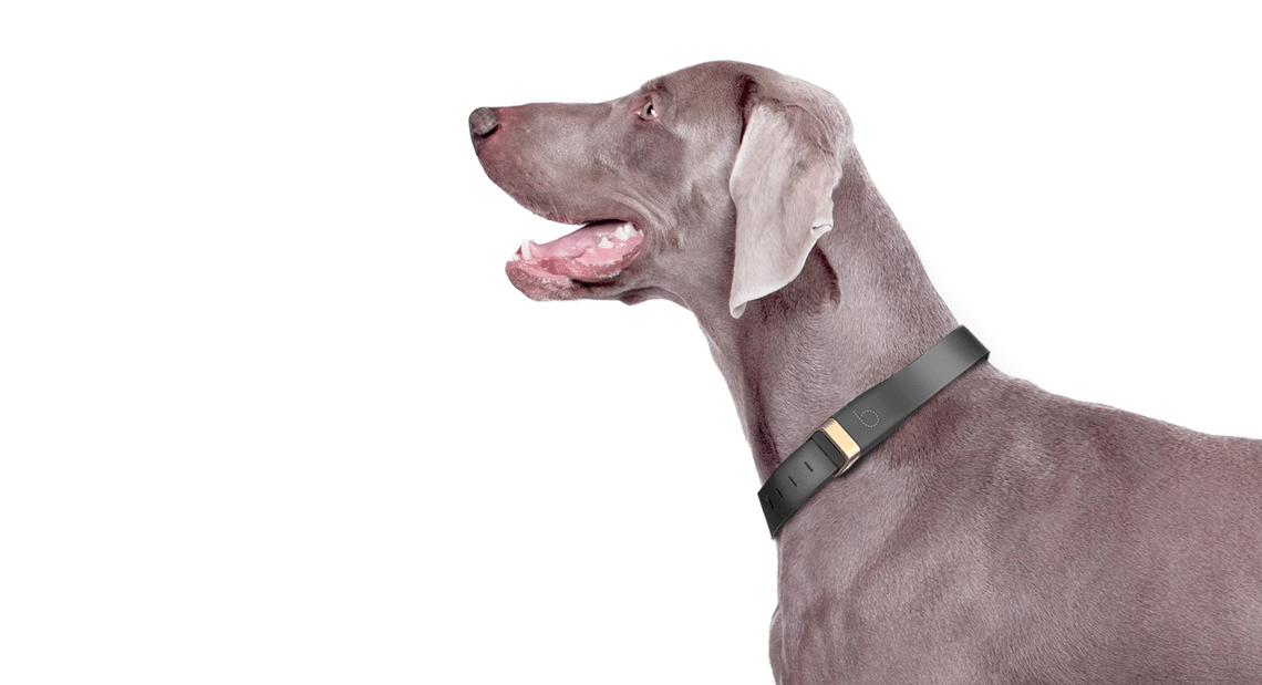 Beagard collier connecté tracker chien